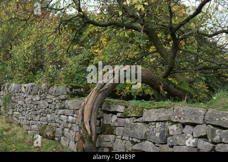 Curved tree trunk growing over a dry stone wall, Peak District, Staffordshire, England, UK - Stock Photo