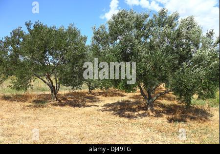Olive tree on hillside in Croatia - Stock Photo