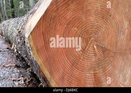 Wood trunks in the forest - Stock Photo