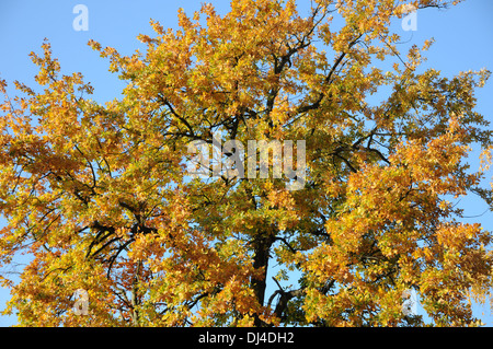 German Oak - Stock Photo