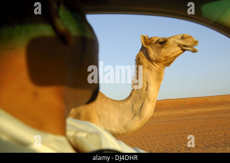 Dromedary looking into an off-road vehicle - Stock Photo
