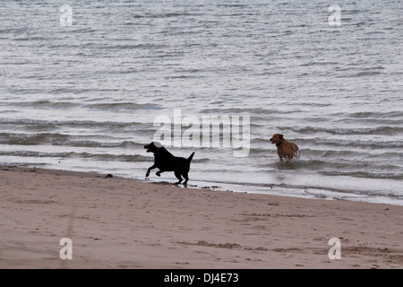 2 Dogs, a black labrador and a golden labrador, playing in the water just off the beach in Lake Huron. - Stock Photo