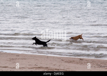 A black Labrador and a Golden Labrador playing in the waves in Lake Huron - Stock Photo