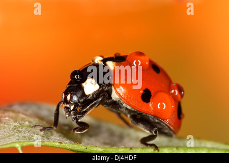 Ladybug with dew drops on green leaf - Stock Photo