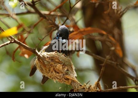 African Paradise Flycatcher at nest Terpsiphone viridis - Stock Photo