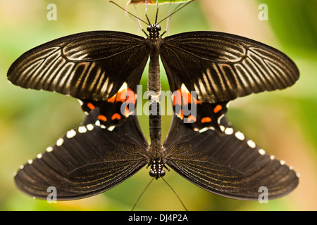 Mating of Common Mormon - Stock Photo