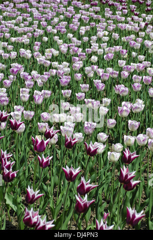 Claudia Tulips, Dutch Tulips - Stock Photo