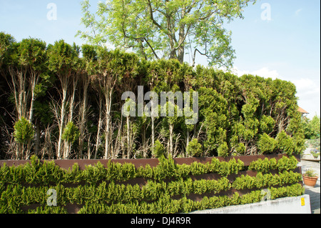 White Cedars, Hedge - Stock Photo
