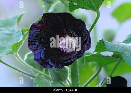 Alcea rosea ssp. nigra-Black hollyhock - Stock Photo