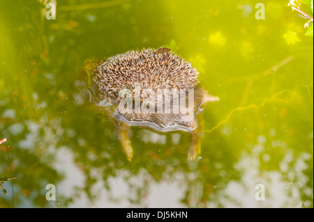 A dead hedgehog floats in a garden pond after having fallen in and drowned in the Uk - Stock Photo