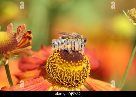 Helenium x hybridum Moerheim Beauty - Stock Photo