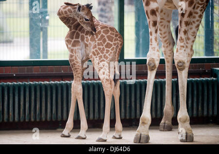 Berlin, Germany. 22nd Nov, 2013. Rothschild's giraffe baby Fritz stands next to his mother at Tierpark Berlin in - Stock Photo