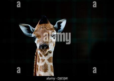 Berlin, Germany. 22nd Nov, 2013. Rothschild's giraffe baby Fritz stands in his enclosure at Tierpark Berlin in Berlin, - Stock Photo