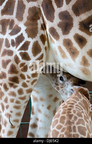 Berlin, Germany. 22nd Nov, 2013. Rothschild's giraffe Jette suckles its offspring Fritz at Tierpark Berlin in Berlin, - Stock Photo