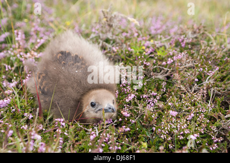Arctic skua (Stercorarius parasiticus) chick on Fair Isle - Stock Photo