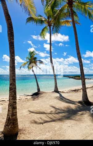 Palm trees on tropical beach, Guadeloupe - Stock Photo
