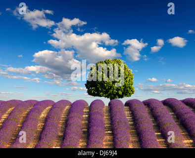 Tree in lavender field with a clouds on the blue sky. - Stock Photo