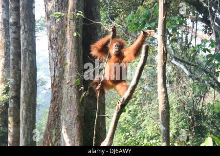 Orangutan swinging from tree to tree in Bukit Lawang, Sumatra, Indonesia - Stock Photo