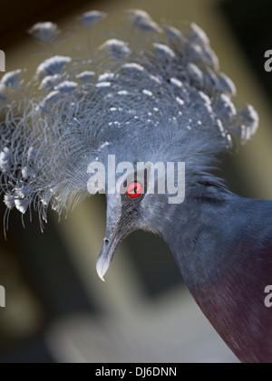 Victoria Crowned Pigeon (Goura victoria) - Loloata Island near Port Moresby, Papua New Guinea - Stock Photo