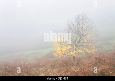 A yellow leaved maple is shrouded in fog on the side of British Camp on the Malvern Hills, Worcestershire. - Stock Photo