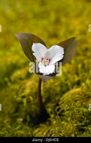 Painted Trillium Emerging through Moss - Stock Photo