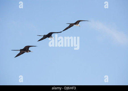 Three Magnificent Frigatebirds flying in formation. A male and two juvenile birds fly wing to wing. - Stock Photo