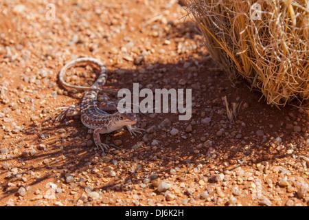 Gecko Next To Legendary Namibian Road D707; Namibia - Stock Photo