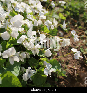 white viola odorata - Stock Photo