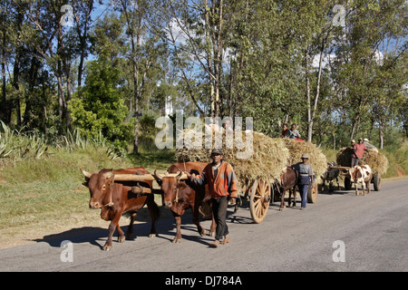 Farmers with zebu carts carrying harvested rice, central highlands of Madagascar