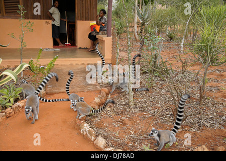 Ring-tailed lemurs in front of tourist cabin with housekeepers, Berenty Reserve, Madagascar - Stock Photo