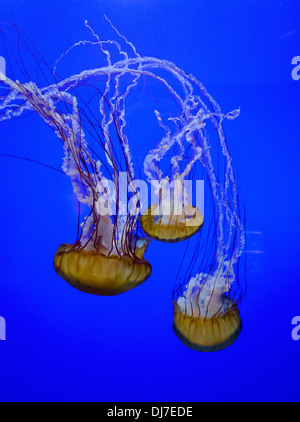 Swimming jellyfish in an aquarium against a blue backdrop - Stock Photo