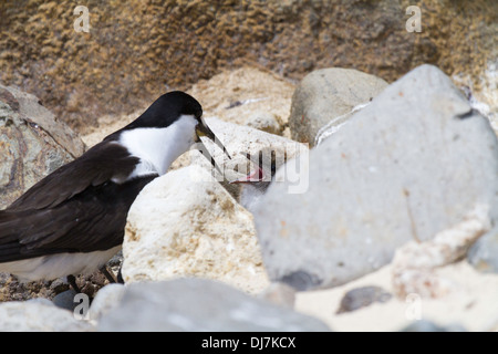 Sooty tern adult feeding chick hidden among rocks on Ned's Beach, Lord Howe Island, Australia - Stock Photo