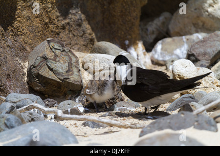Sooty tern adult feeding chick on Ned's Beach, Lord Hower Island, Australia - Stock Photo