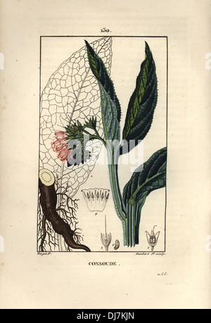 Comfrey, Symphytum officinale. - Stock Photo