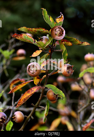Common Medlar, Mespilus germanica, Rosaceae. Indigenous to southwest Asia and southeastern Europe. - Stock Photo