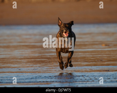 Brindle Staffordshire Bull Terrier running on the beach, Bude, Cornwall, UK - Stock Photo