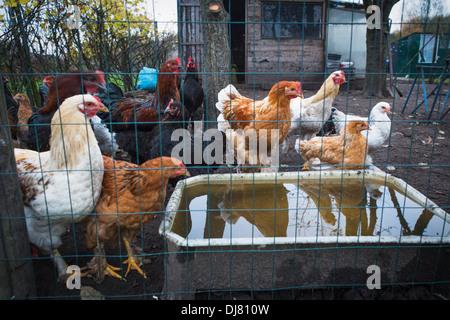 Free range chickens in a henhouse - Stock Photo
