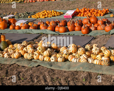 squashes and pumpkins for sale in a farmers field germany - Stock Photo