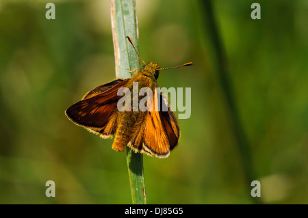 An adult large skipper butterfly (Ochlodes sylvanus) perched on a grass blade at Ivinghoe Beacon, Buckinghamshire. - Stock Photo