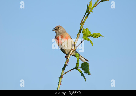 An adult male linnet (Carduelis cannabina) singing from a bramble stem at Elmley National Nature Reserve, Isle of - Stock Photo