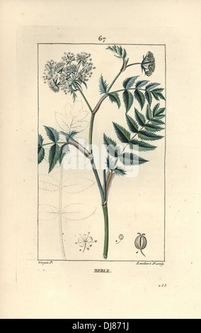 Cutleaf water parsnip, Berula erecta. - Stock Photo
