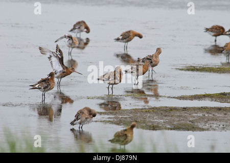 A gropu of black-tailed godwits (Limosa limosa) roosting and preening in shallow water at Oare Marshes, Kent. July. - Stock Photo