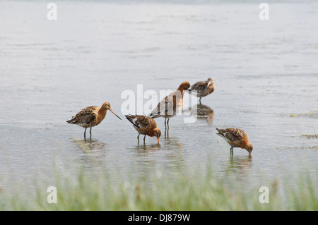 A group of black-tailed godwits (Limosa limosa) feeding in shallow water at Oare Marshes, Kent. July. - Stock Photo