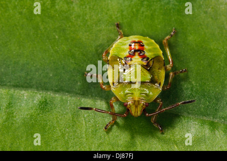 The fifth and final instar nymph of a birch shieldbug (Elasmostethus interstinctus) walking over a leaf in a garden. - Stock Photo
