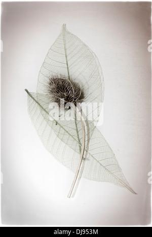 teasle with skeleton leaves - Stock Photo