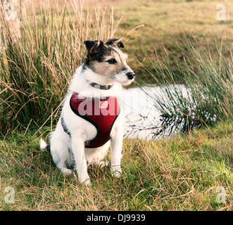 Working Jack Russell Terrier wearing a red harness - Stock Photo