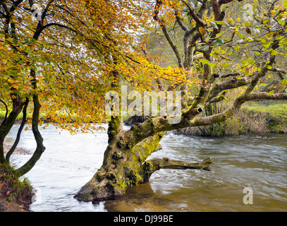 Autum colour on the banks of the River Fowey as it flows through Lanhydrock in Cornwall - Stock Photo