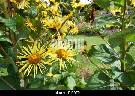 English Country Garden, Yellow daisies, England, UK. - Stock Photo