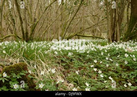 Wood Anemone, Anemone nemorosa - Stock Photo
