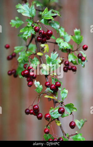 Dark red wild berries with green leaves - Stock Photo